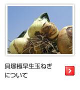 北野農園の早生玉葱(わせたまねぎ)について